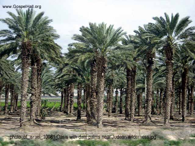 photo_of_israel_10081 Oasis with date palms near Judean wilderness.jpg