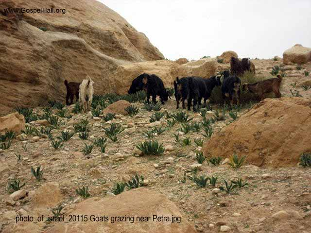 photo_of_israel_20115 Goats grazing near Petra.jpg