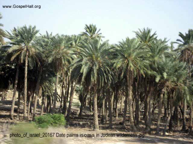photo_of_israel_20167 Date palms in oasis in Judean wilderness.jpg