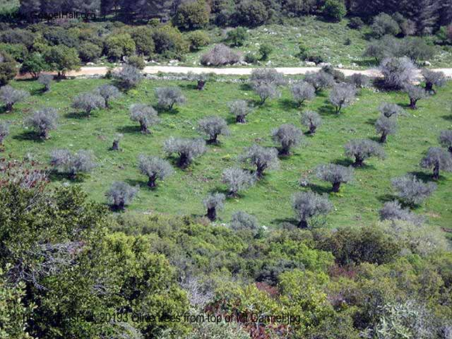 photo_of_israel_20193 Olive trees from top of Mt Carmel.jpg